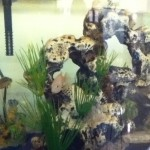 Assorted South American Cichlids